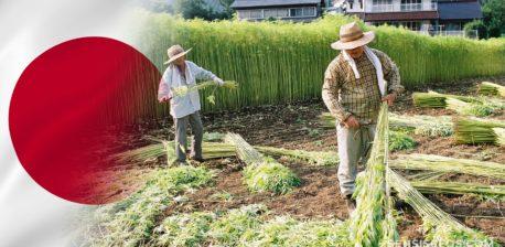 Die japanische Flagge und zwei Landwirte, die Hanf auf einem Feld ernten