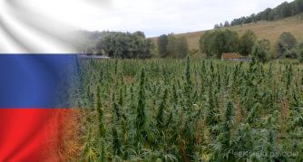 Le drapeau russe et un champ de plantes de cannabis