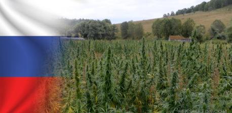 Die russische Flagge und ein Feld von Cannabis-Pflanzen