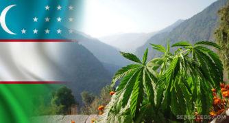 Die Usbekistan-Flagge und die Cannabis-Pflanze, die draußen wächst