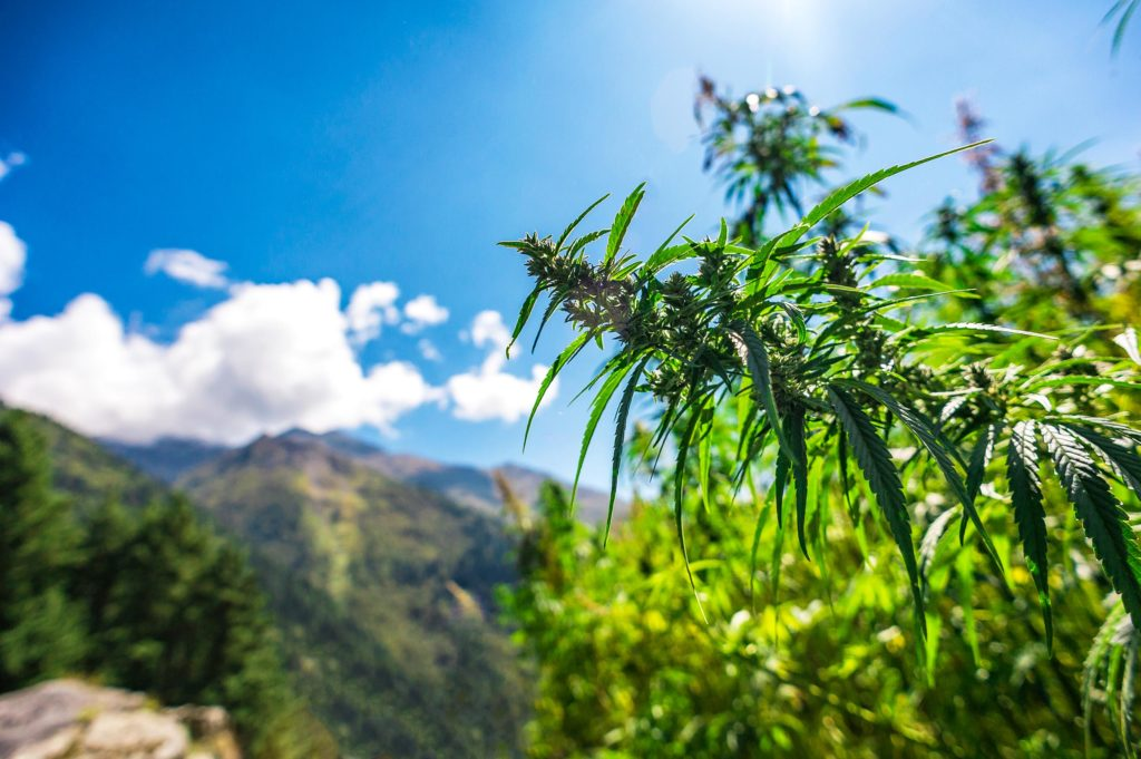Cannabis plants growing outdoors