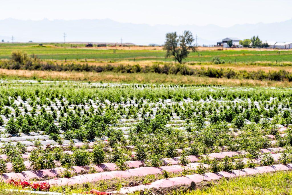Cannabisplanten groeien buiten