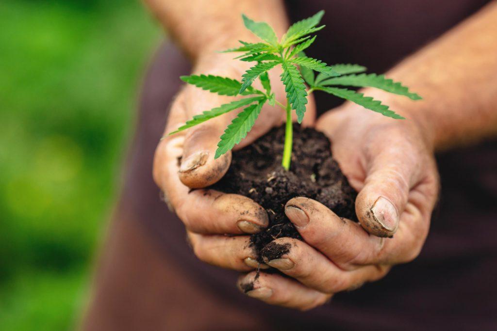 Eine Person, die Boden mit einem Cannabis-Werk hält, das heraus wächst