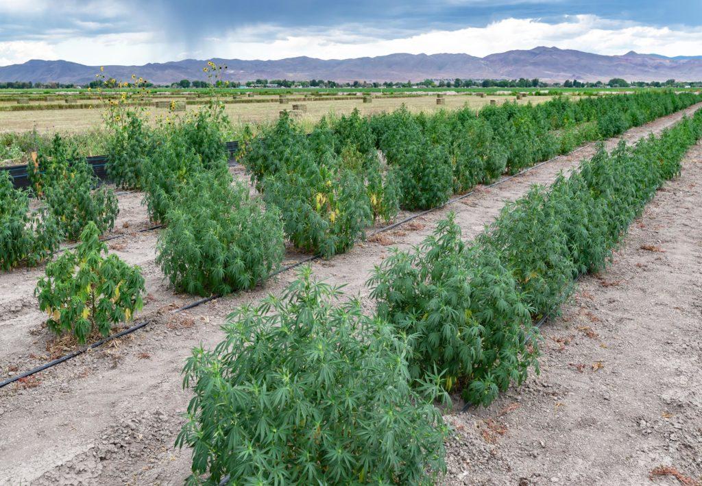 Ein Feld mit Reihen von Cannabis-Pflanzen