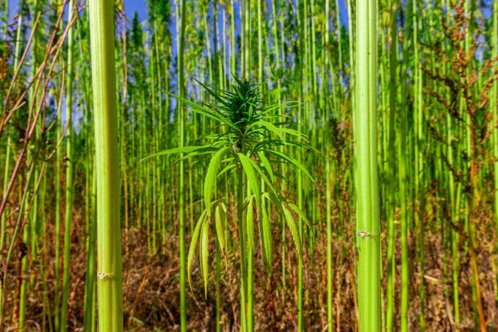 A field of industrial hemp
