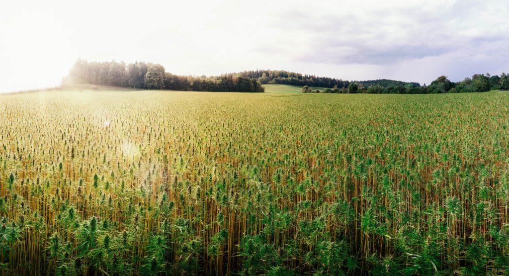 Ein Feld von Hanfanlagen