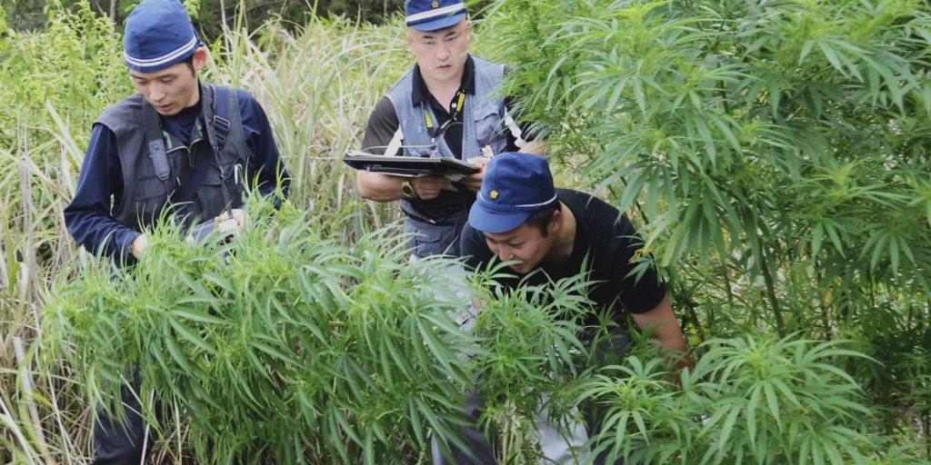 Three men in uniform inspecting a cannabis plant in a field