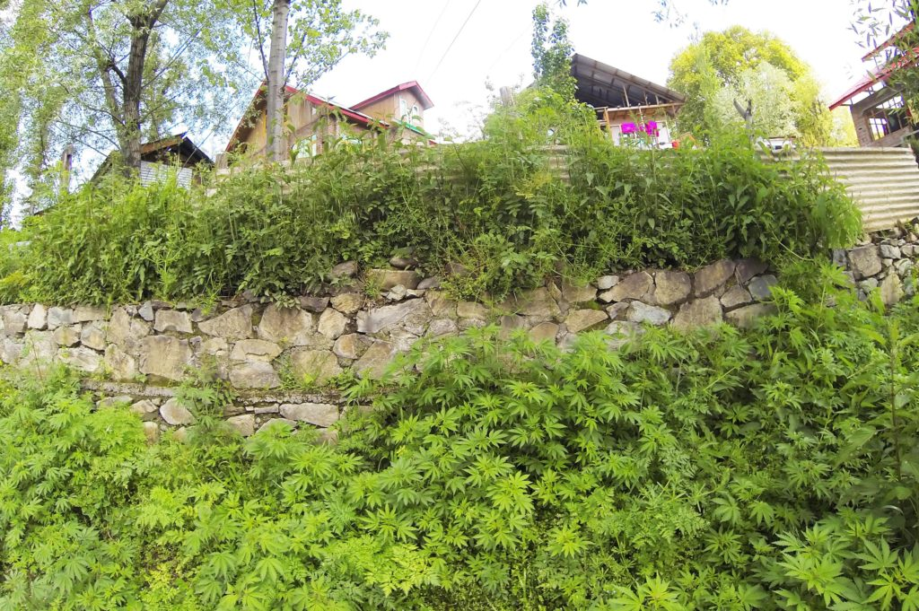 Cannabis plants growing against a stone wall