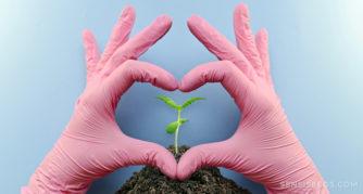 Mains gantées roses formant un cœur autour d'une petite plante de cannabis