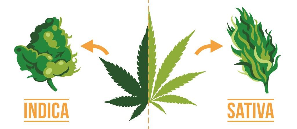 Une feuille de cannabis, un bourgeon sativa et un bourgeon indica