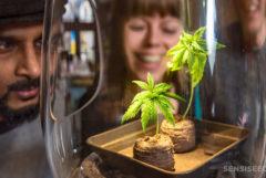 Tres personas se inclinan para mirar dos pequeñas plantas de cannabis en un frasco de vidrio.