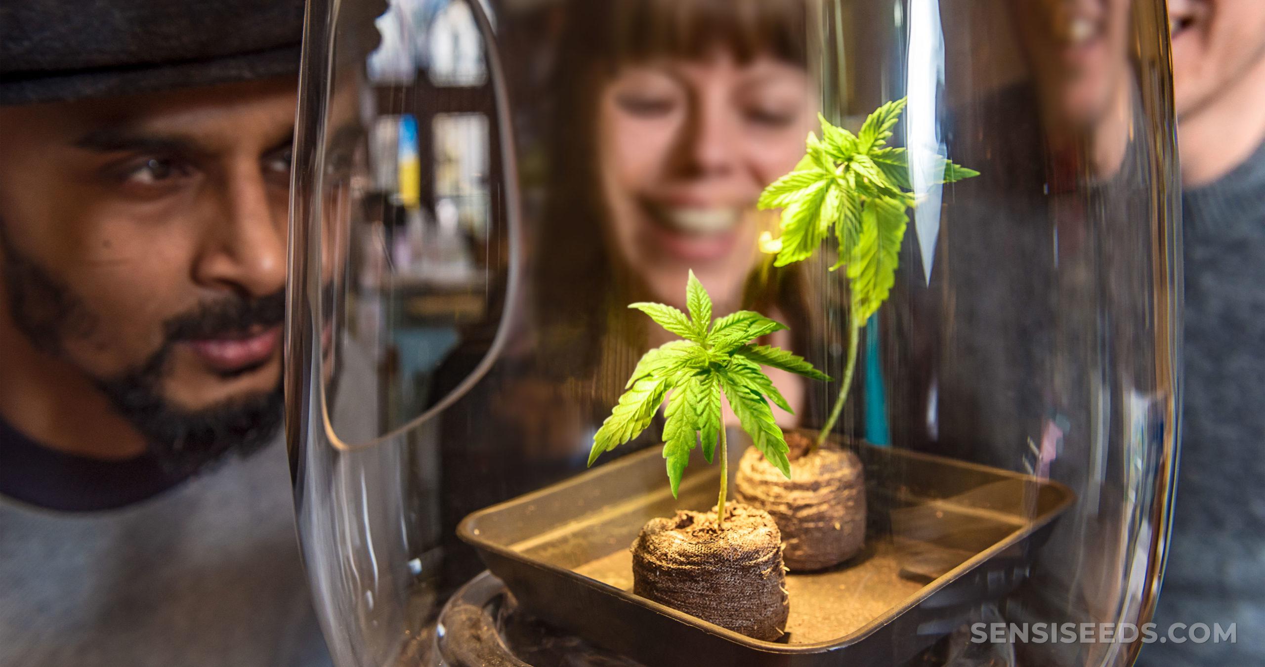 Trois personnes appuyées pour regarder deux petites plantes de cannabis dans un pot en verre