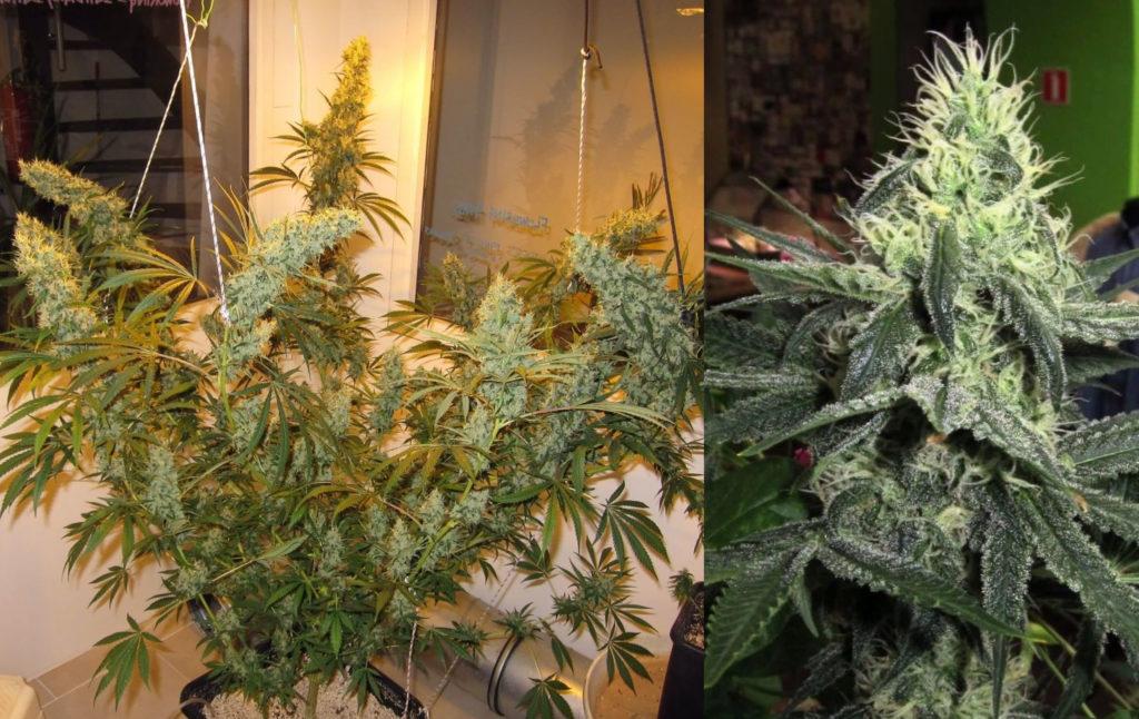 Dos plantas de cannabis diferentes.