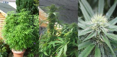 Tres plantas de cannabis diferentes