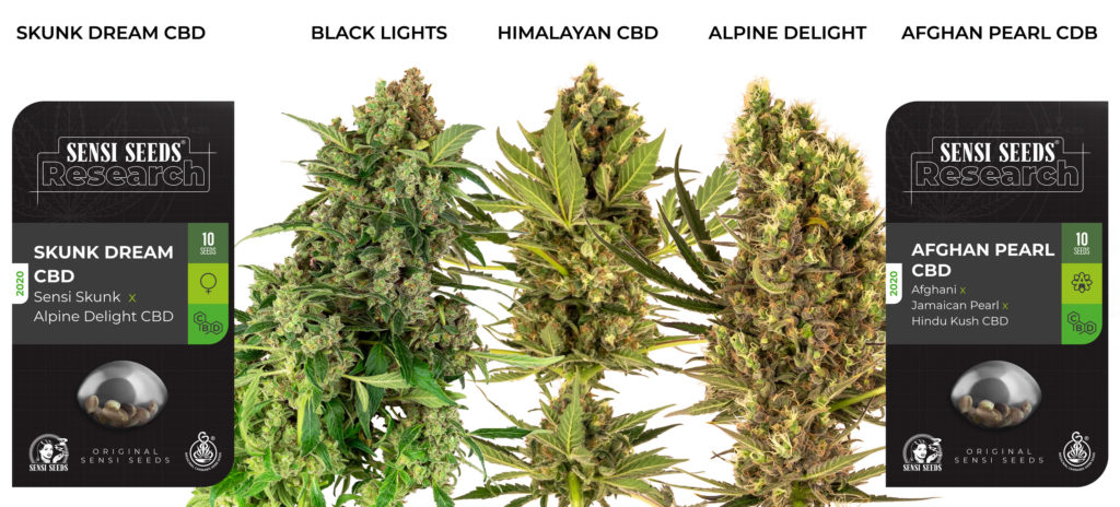 2 packs of cannabis seeds with 3 large buds of cannabis. The seeds are Skunk Dream CBD and Afghan Pearl CBD. The buds are Black Lights, Himalayan CBD, and Alpine Delight.