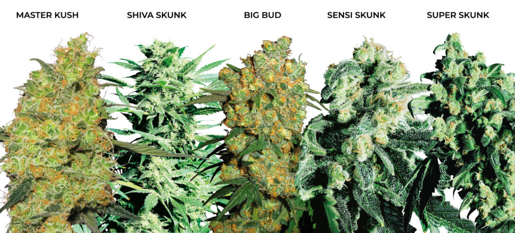 5 large buds of indica medicinal cannabis. Master Kush, Shiva Skunk, Big Bud, Sensi Skunk, and Super Skunk.