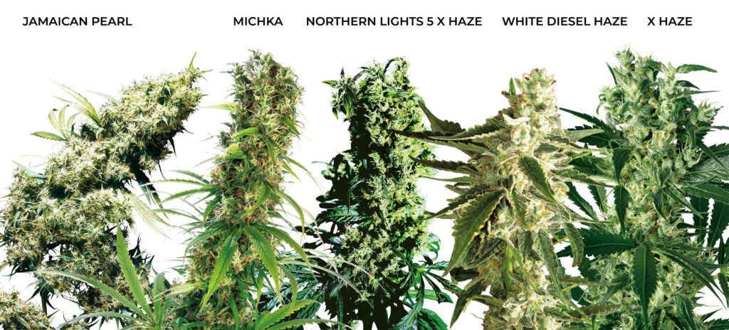5 large buds of sativa medicinal cannabis. Jamaican Pearl, Michka, Northern Lights #5 x Haze, White Diesel Haze, and X Haze.