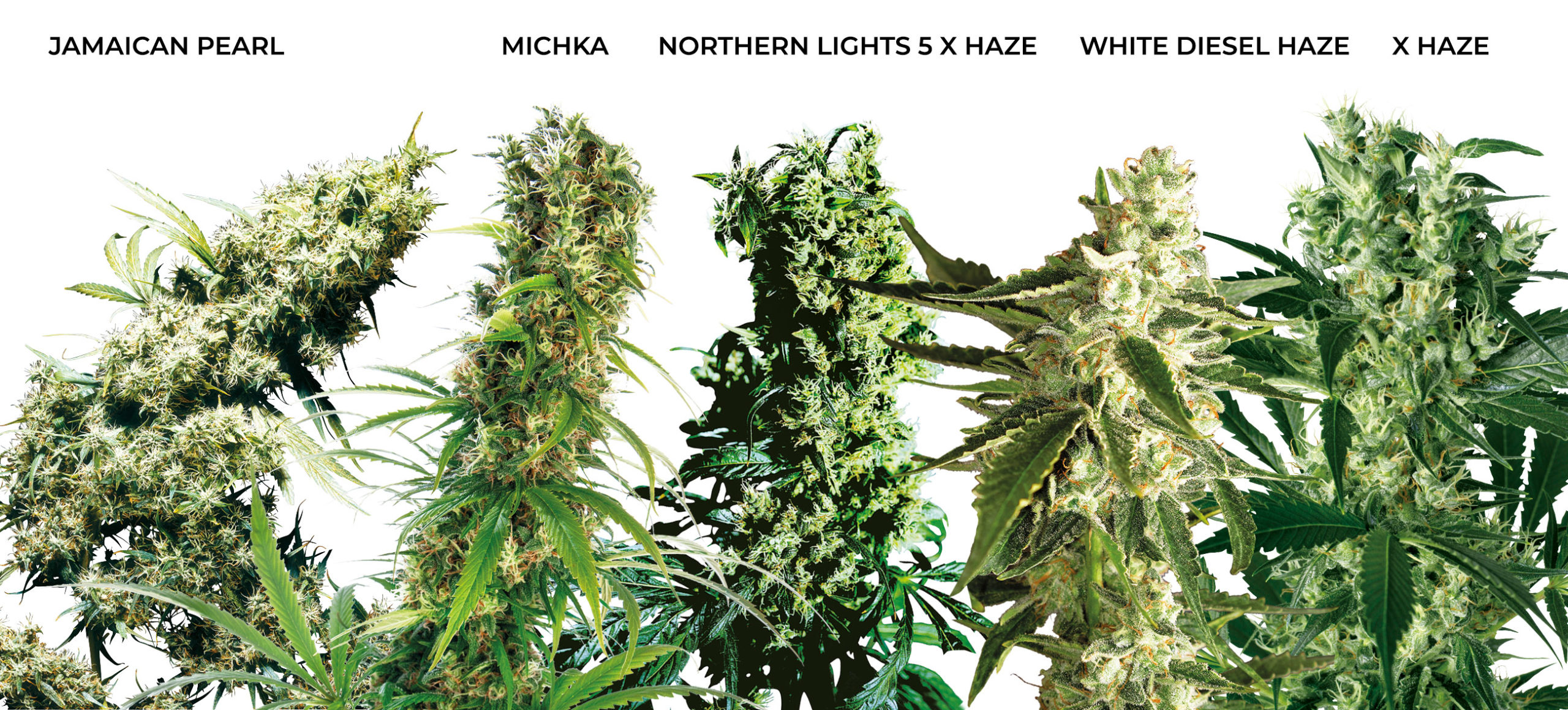 5 große Buds von medizinischem Sativa-Cannabis. Jamaican Pearl, Michka, Northern Lights #5 x Haze, White Diesel Haze und X Haze.