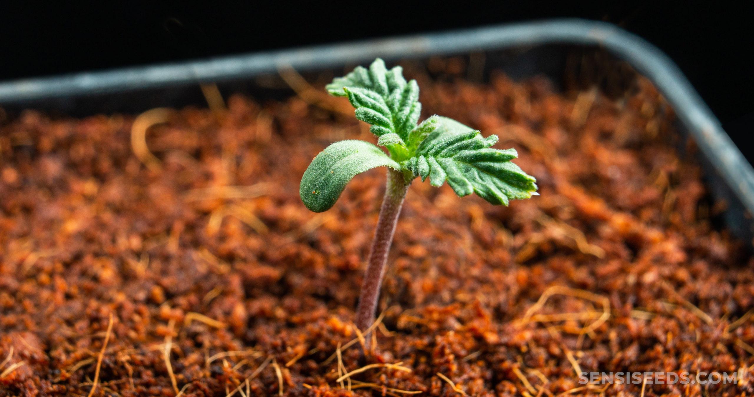 Une petite plante germinant du sol