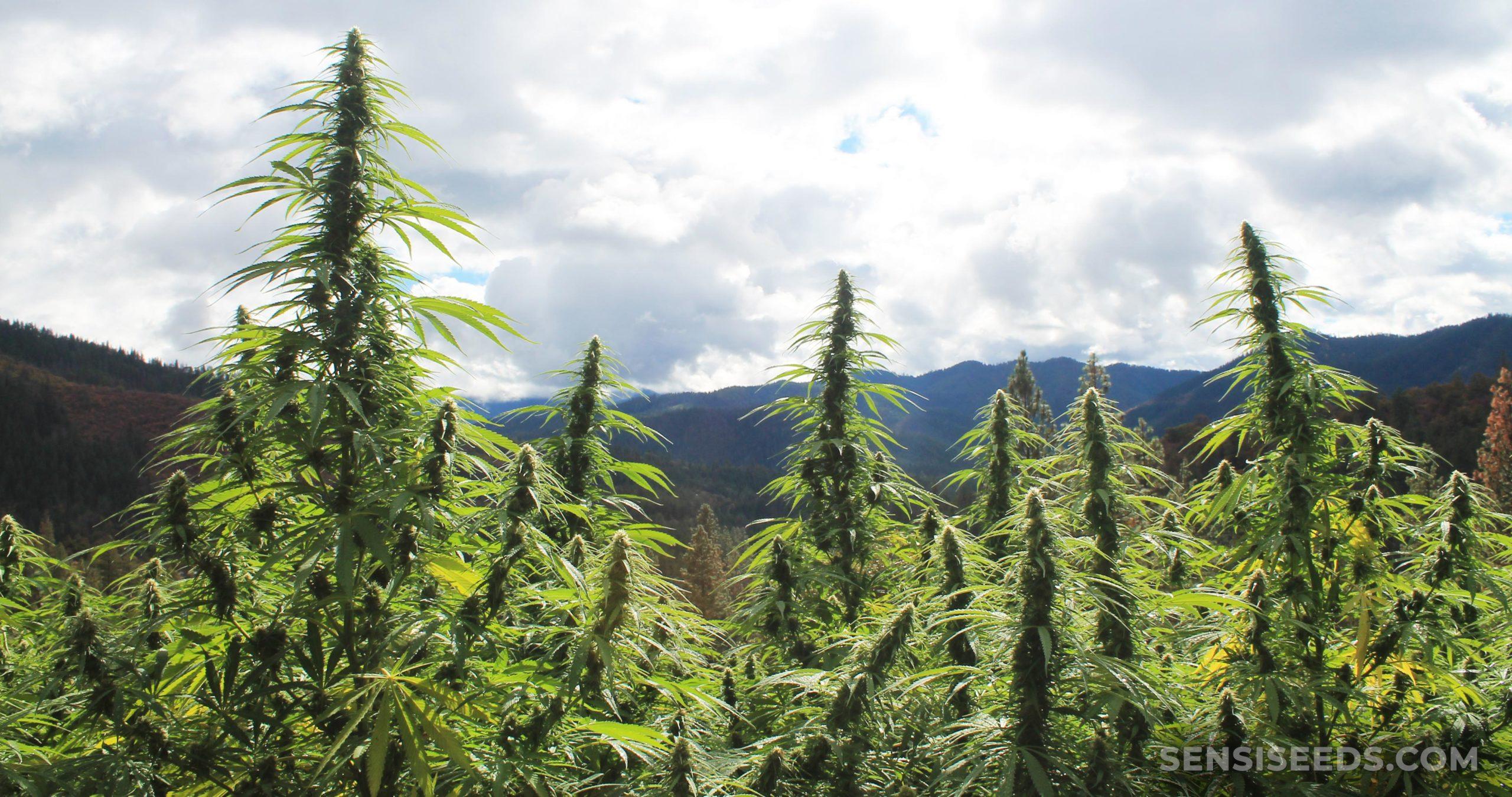 Plantes de cannabis qui poussent à l'extérieur