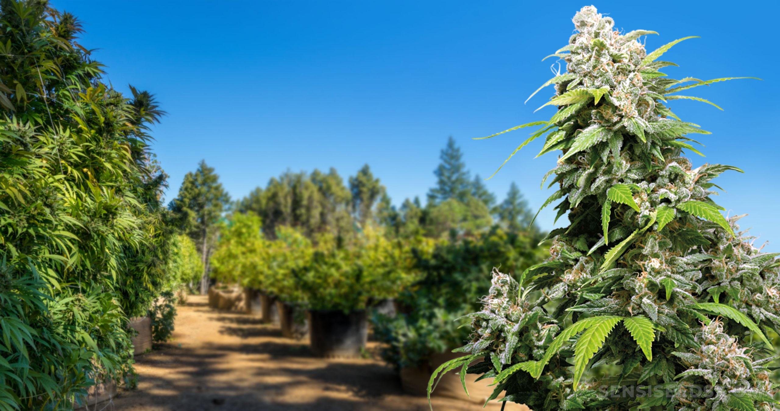 Een cannabisplant