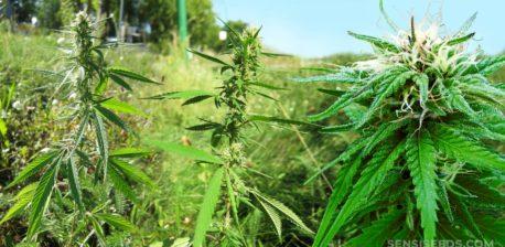 Planta de cannabis de Ruderalis Indica