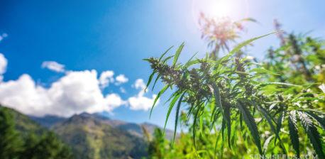 Una planta de cannabis que crece al aire libre en las montañas bajo el sol.