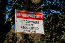 Police-in-Mendocino-County-have-destroyed-over-half-a-million-cannabis-plants-so-far-this-year-Julia-Wolf