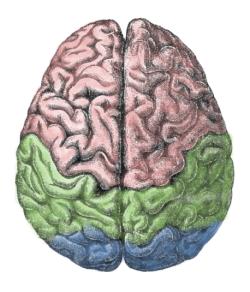 """""""Die linke und die rechte Gehirnhälfte sind anatomisch ähnlich, jedoch verschieden. Die Kognitionsforschcung arbeitet weiter daran, herauszufinden, welche kognitiven Fähigkeiten von welcher Gehirnhälfte hauptsächlich geleistet werden """""""