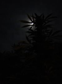 Um Cannabis zum Blühen zu bringen, ist eine ausreichend lange Periode völliger Dunkelheit unabdinglich