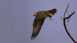 Laggar_Falcon_in_Flight