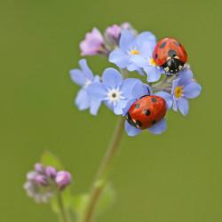Nützliche Insekten wie Marienkäfer können ein wesentlicher Bestandteil eines chemiefreien Schädlingsbekämpfungssystems sein - Sensi Seeds blog