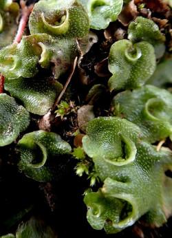 Primitive Leberblümchen wie dieses könnten mit THC verwandte Substanzen enthalten (© Mr & Mrs Apteryx australis)