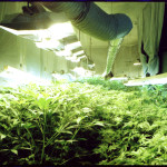 A section of the cannabis breeding program where many parent plants flourish under lights.