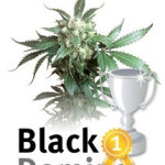 Cannabis Strain Black Domina wins Spanish award