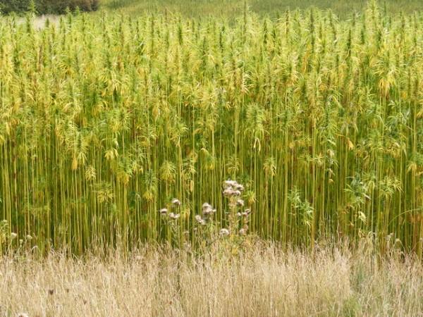 Fiber hemp, tightly planted to reduce branching (© Geograph UK)