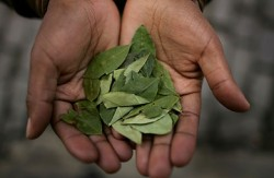 In January 2013, Bolivia gained special exemption for its indigenous peoples to chew coca leaf