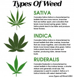 Everything you ever needed to know about cannabis leaves - 3 - The differences between sativa, indica and ruderalis leaves