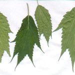 Everything you ever needed to know about cannabis leaves - 5 - Ducksfoot Cannabis (www.420genetics.com)