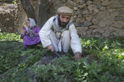 Afghan Cannabis - 1 - Cannabis production is widespread in Afghanistan, which is the world's largest producer of hashish