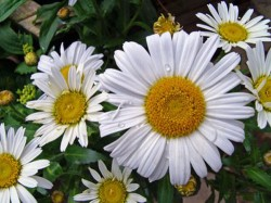 Organic gardening 101 what is pyrethrum - 1 - Chrysanthemum cinerariifolium, the species that provides the bulk of the world's pyrethrum