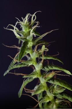 """Sensi Seeds Experimental Nepalese Strain"" copyright Sebastian Marincolo 2012"