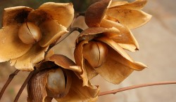 Medicinal Plants— Hawaiian Baby Woodrose Part II - 1. The distinctive seed-pods, resembling small wooden roses, for which the plant is named (Naveen Roy)