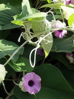 Medicinal Plants--Hawaiian Baby Woodrose - 1. Hawaiian Baby Woodrose is a creeping perennial vine with purple, trumpet-shaped flowers (Badly Drawn Dad)