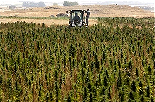 A field of cannabis in Lebanon's Bekaa Valley