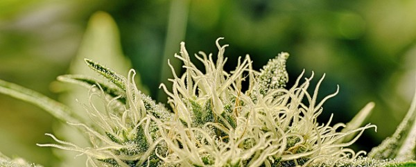 The DEA and NIDA have opposed positive research on medical cannabis for years, but their stance many now be softening