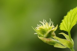 Even the early flower of the hop plant bears an uncanny resemblance to cannabis