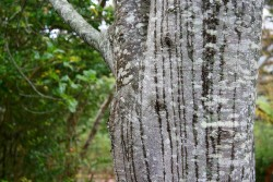 The smooth, grey-trunked Celtis africana is widespread in southern Africa and is commonly used as an ornamental and source of timber