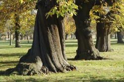 The sweet chestnut can achieve massive height and girth within a relatively short time, and is known to produce abundant monoterpenes