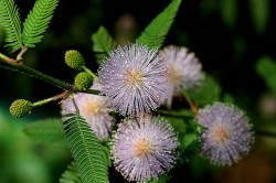 Mimosa pudica leaves were first noted to exhibit circadian movements irrespective of external cues (©Manuel Martin Vicente)